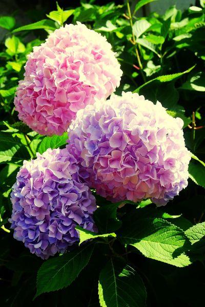 Flower Head Flower Peony  Petal Leaf Pink Color Hydrangea Purple Close-up Plant