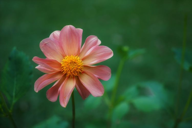 Flower Flowering Plant Fragility Vulnerability  Petal Freshness Beauty In Nature Flower Head Inflorescence Plant Growth Pink Color Close-up Focus On Foreground Pollen Nature Day No People Outdoors Gazania