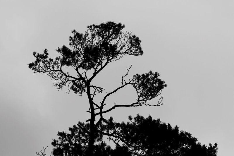 Blackandwhite Sächsische Schweiz Elbsandsteingebirge Kiefer Baum Tree