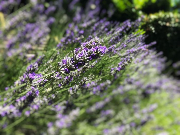 Lavanda Purple Flowering Plant Growth Plant Flower Freshness Fragility Selective Focus Beauty In Nature Lavender