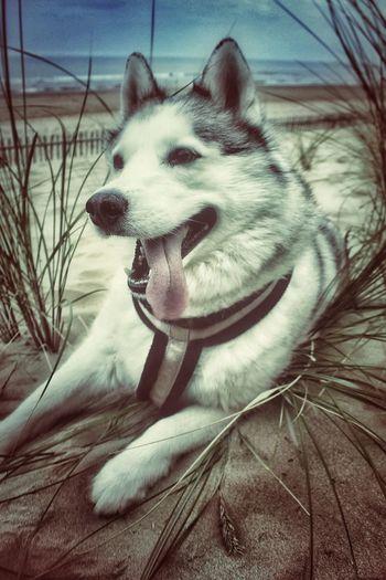 Skye on the beach Siberian Husky Husky Dogs Beach