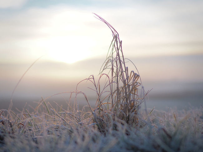 Sunrise - - - Sonnenaufgang Sky Plant Tranquility Beauty In Nature Nature Selective Focus Grass Tranquil Scene No People Outdoors Close-up Frozen Food Sunrise Cold Temperature Winter Nature Photography Olympus Frozen Morning Dew Ice Cold Cold Winter ❄⛄ EyeEm Nature Lover EyeEm Gallery Morning Light Warm Light