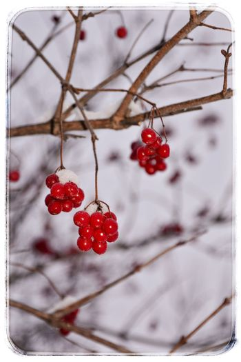 Red Fruit Food And Drink Close-up Healthy Eating Freshness Food Hanging No People Tree Branch Nature Outdoors Day зима калина калина красная