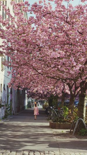 under the pink canopy of cherrs blossoms Spring Flower Sakura Cherry Blossoms Blossoms  Blooms Nature Berlin Betterlandscapes Plant Tree Flower Pink Color Growth Real People Fragility Nature Blossom Beauty In Nature Springtime Freshness Cherry Blossom One Person Day