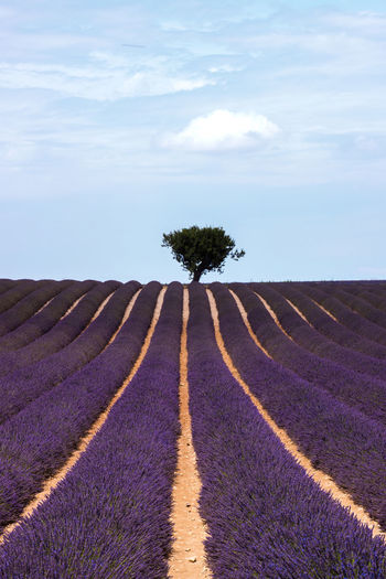 France Francia Provence Beauty In Nature Cloud - Sky Day Field Freshness Growth Landscape Lavanda Nature No People Outdoors Provenza Rural Scene Scenics Sky Tranquil Scene Tranquility Tree Valensole Valensole Plateau Violet Violet Flowers The Traveler - 2018 EyeEm Awards The Great Outdoors - 2018 EyeEm Awards