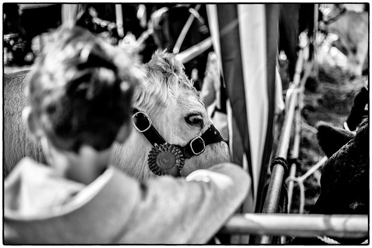 Agricultural show in Swinford, Ireland. August 2017 Swinford Livestock Ireland Agriculture Cow Real People Indoors  Day One Person Close-up Animal Themes Adult