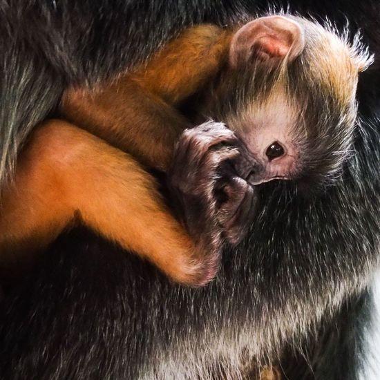 Olympus OM-D EM-1 Olympus Columbus, Ohio Zoo Langur Baby Orange Primate Animals