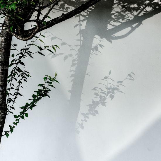 shadow duet Duet Light Light And Shadow Nara Shadow Tree Wall White