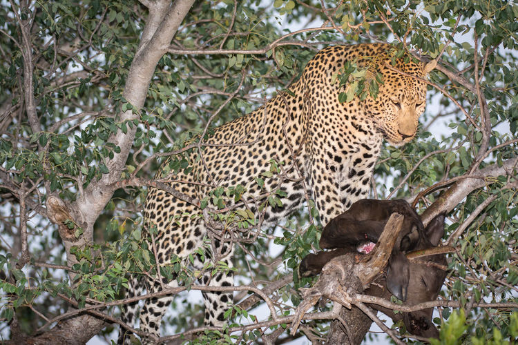 Leopard with dead  animal in tree