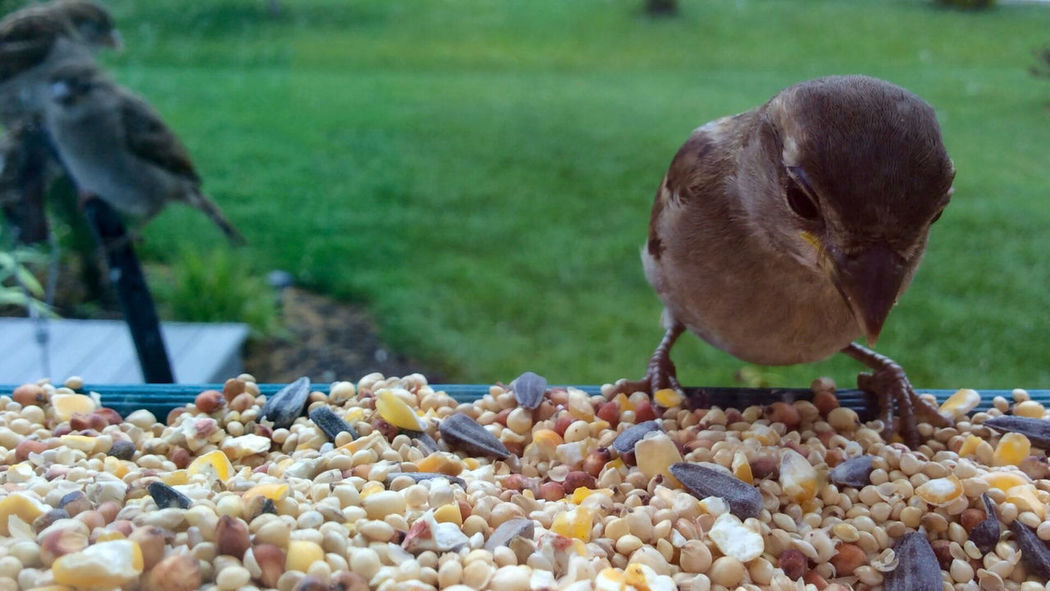 Early Morning Sparrows get the seed Abundance Animal Bird Bird Feeder Birdfeeder Close-up Day Focus On Foreground House Sparrow Nature No People Outdoors Selective Focus Sparrow