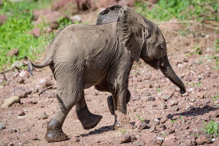 Elephant calf walking on field