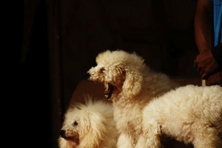 White poodle yawning
