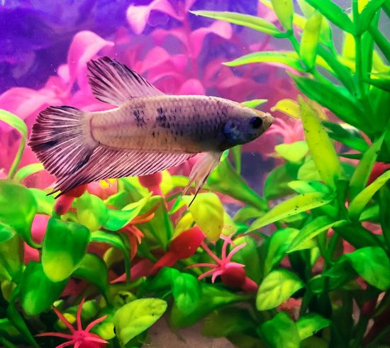 Photography Bettas Betta Fish Bettafishcommunity Bettafish Betta  Betta Lovers