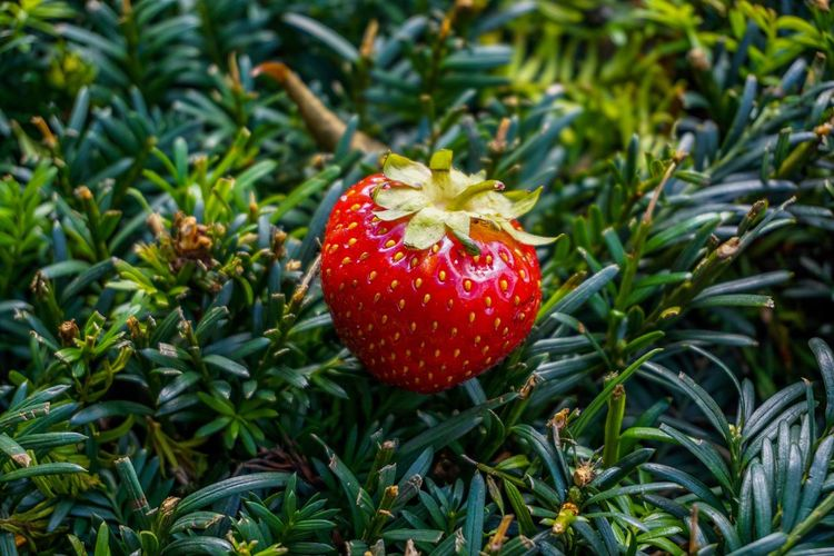 Red Growth Plant Nature No People Green Color Day Beauty In Nature Close-up Food Strawberry Fruit Food And Drink Freshness Berry Fruit Healthy Eating Plant Part Land Leaf Outdoors