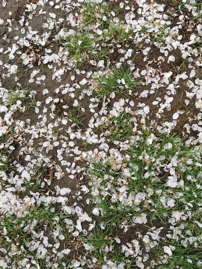 High angle view of white flowering plant on field