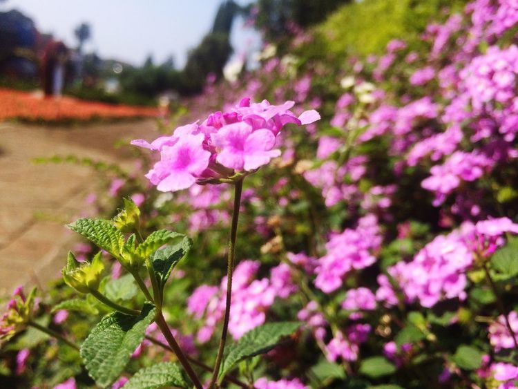 pink flower Beauty In Nature Beauty Flowers Selecta Malang Selecta, Malang Beauty Indonesia Plant Flowering Plant Flower Pink Color Freshness Beauty In Nature Growth Inflorescence Nature Outdoors No People Day Botany Focus On Foreground