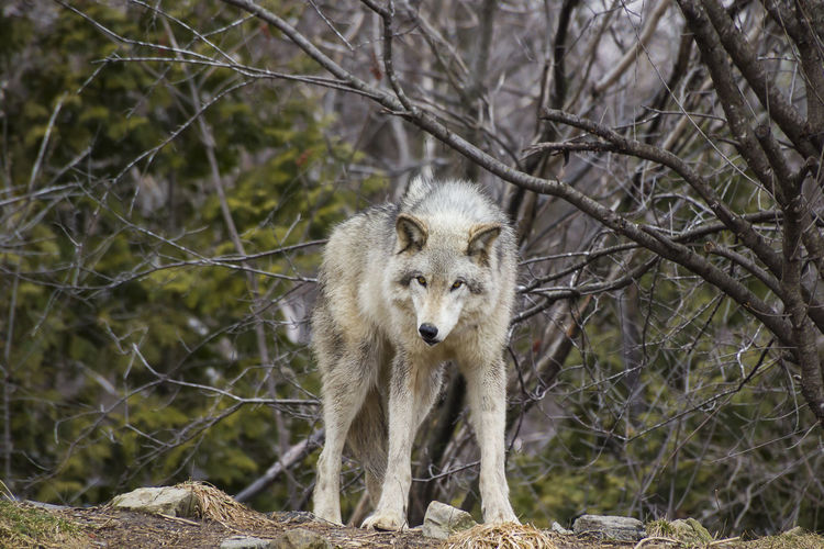 Frontal view of grey wolf standing and staring with menacing expression in front of wooded area in early spring Front View Looking At Camera Wolf Nature One Animal Standing Staring Menacing Expression Grey Wolf Wooded Area Early Spring Predator Dangerous Carnivore Leggy Hunter Mottled Grey Coat Brown Eyes Animals In The Wild Animal Mammal Outdoors