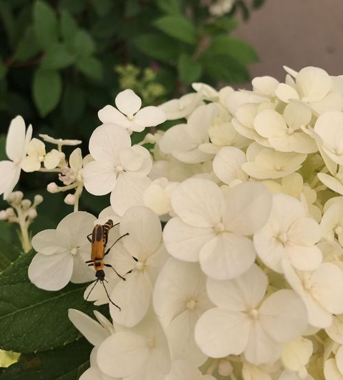 Close-up of insect on white flowers