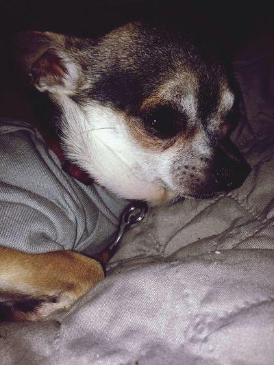 my lil rat 🐒 Freedom Indiana Indianapolis  America Dog Animal Puppy Chihuahua Mayhem