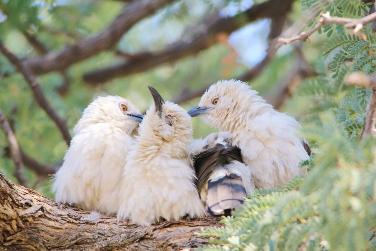 Pied Babblers groom a friend, creating an image of fun and humor in nature. Cleaning EyeEmNewHere Funny Groom Humor Pied Babbler Action Animal Animal Themes Animal Wildlife Animals In The Wild Avian Bird Branch Color Cute Hilarious Nature Nest Outdoors Perched Plumage Togetherness Tree White