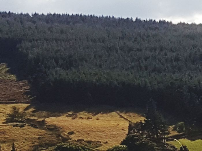 pine trees from