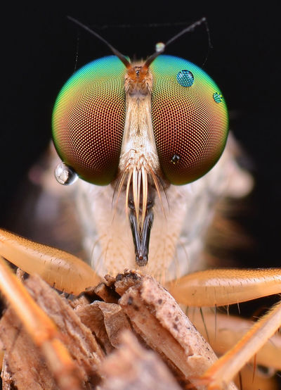 Macro shot of housefly