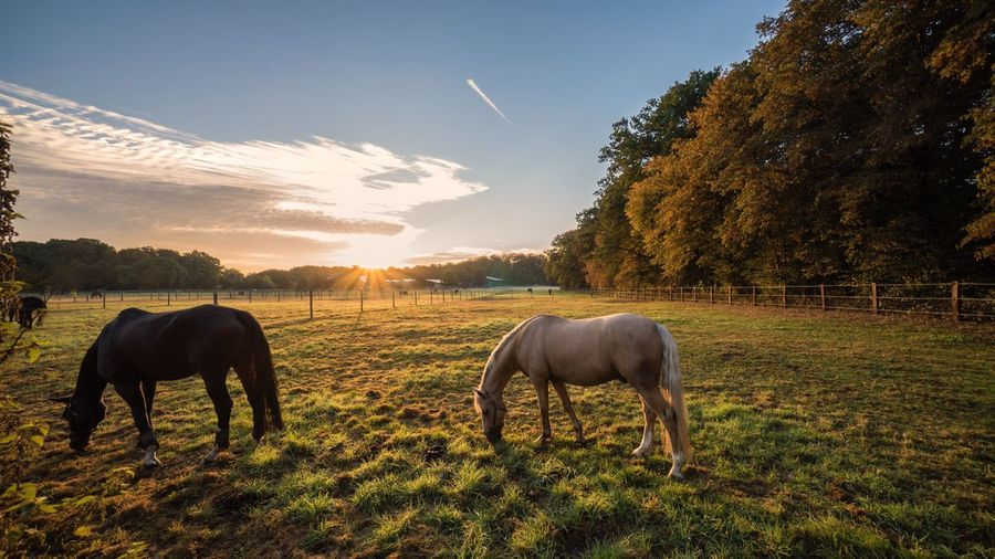 Horses Grazing On Field Against Sky During Sunrise
