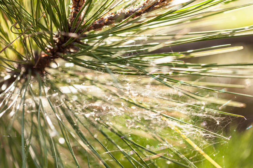 Beauty In Nature Branch Close-up Coniferous Tree Day Dew Focus On Foreground Freshness Green Color Growth Leaf Nature Needle - Plant Part No People Outdoors Pine Tree Plant Plant Part Selective Focus Sunlight Tranquility Tree