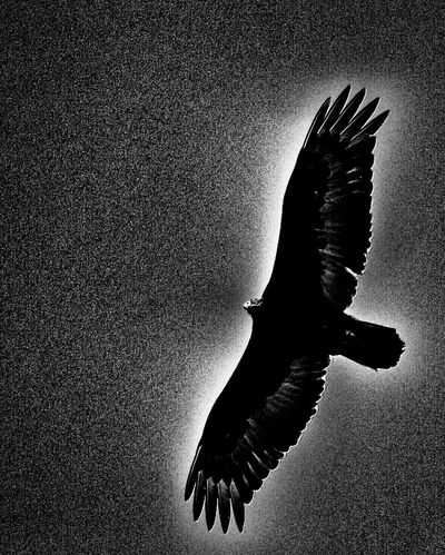 Ominous Check This Out Birds Eye View Feathered Friends Wings Watching You Sky And Birds Sky And Bird Flying Bird Birds_collection Bird Photography Bird Soaring Birds Buzzard  Turkey Vulture Vulture Soaring Dark Sky Dark Fear Dramatic Black And White Dramatic Sky Dramatic Lighting