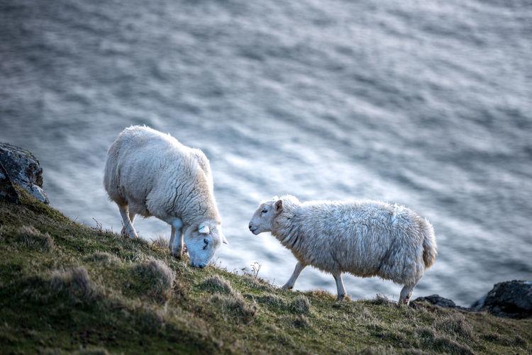 Animal Themes Animals In The Wild EyeEmNewHere Grass Livestock Mammal Nature Neist Point Neist Point Lighthouse No People Ocean Outdoors Scotland Sea Sheep