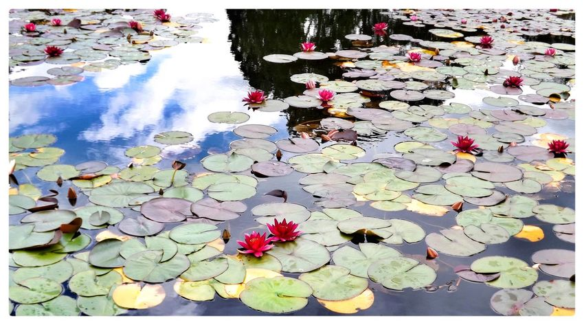 Water Reflections Water Waterlily Wildlife & Nature Flowers,Plants & Garden Eye4photography  EyeEm Nature Lover EyeEm Gallery Eyemphotography EyeEm Reflection Clouds And Sky Clouds Waterlilies Waterlilypond Look At This