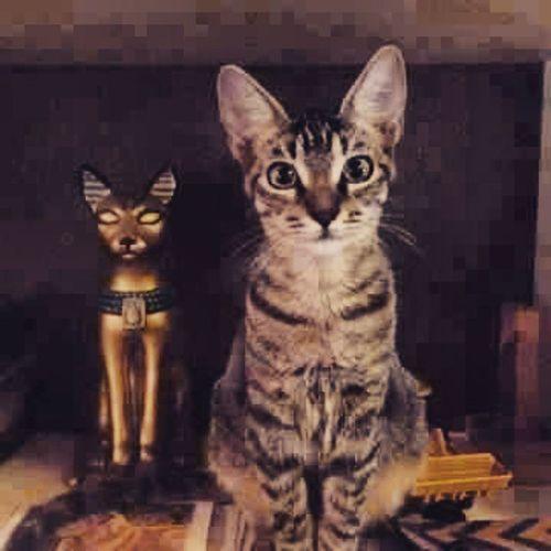 Egypt Egyptian_mau Bastit Pharaohnic Cat Animals