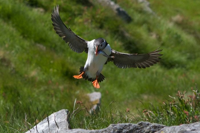 Bird Flying Fraticula Arctica Norway Outdoors Papageitaucher Puffin Spread Wings Wildlife