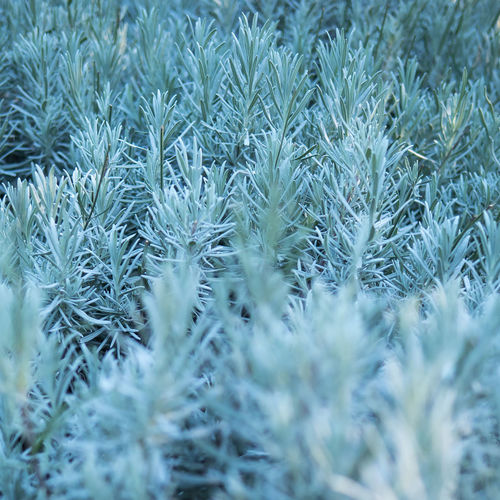 Close-Up Of Lavender Plant During Winter