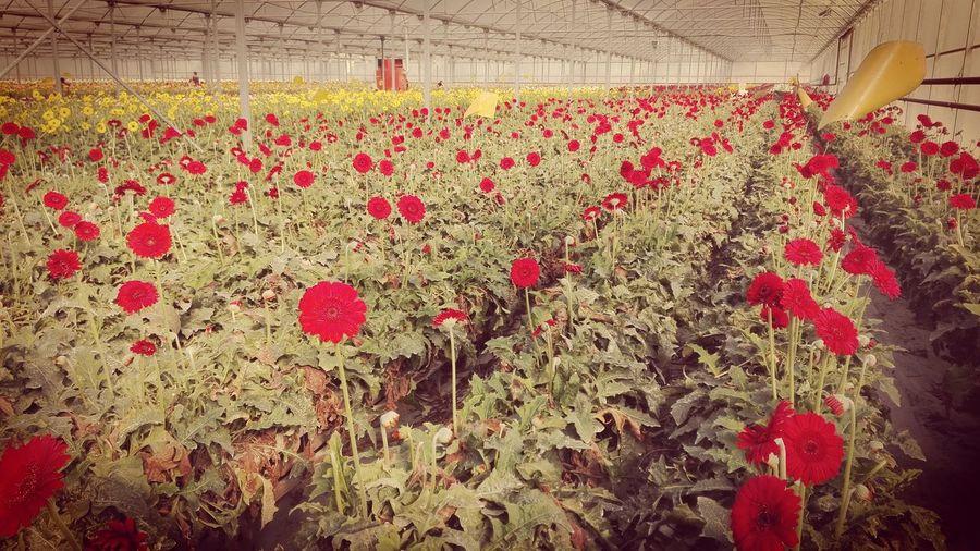 Hydroculture Greenhouse Huaweip8 Lite Redflowers Greenhouse Farming