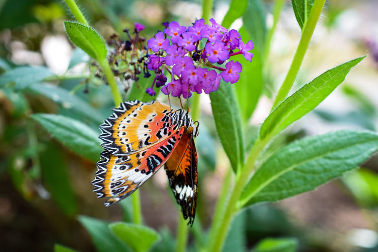 Autumn-toned Butterfly Snacks on a Purple Flower Flower Flower Head Beauty Multi Colored Leaf Butterfly - Insect Full Length Insect Purple Uncultivated Flowering Plant Inflorescence Botanical Garden Plant Part Tropical Flower Botany Colored Lavender Colored Lilac Thistle Crocus Pollination Plant Life In Bloom Blossom Stamen
