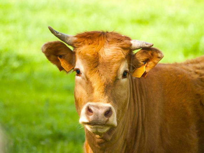 Portrait of cow standing on field