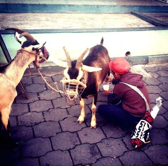 Ziegenmilch Travel Photography Worldtravelpic Worldtravelpics Guatemala Goat Goats Goatmilk Freshmilk Ziegen Ziege Ziegenmilch Frischemilch Diemilchmachts Street Food Worldwide Street Photos Official Eyeem© Street Photography - EyeEm Awards 2016 The Street Photographer - 2016 EyeEm Awards Original Experiences Feel The Journey