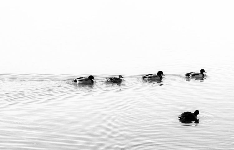 Animal Themes Animal Wildlife Animals In The Wild Beauty In Nature Best Shots EyeEm Bird Blackandwhite Contrast Day Ducks Lake Nature No People Outdoors Swimming Togetherness Water