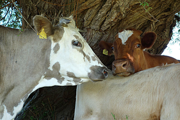 Animal Themes Close-up Cows In Nature Day Domestic Animals Livestock Mammal No People
