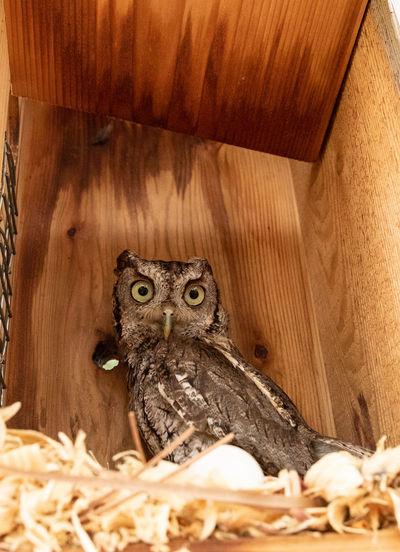 Portrait of owl in nest