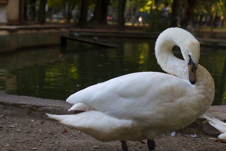 Close-up of swan on lakeshore
