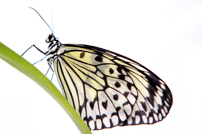 Animal Wing Animals Live Beauty In Nature Butterfly - Insect Insect Nectar One Animal White Background