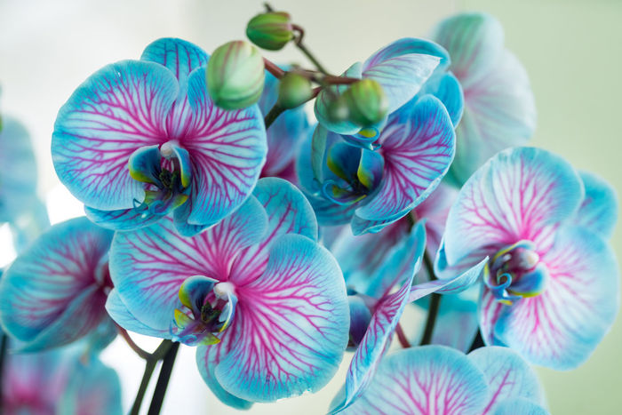 """Blue and pink orchid """"wonder of nature"""" blooming isolated on a white background Flower Show Growing Hybrid Isolated Orichidee Pink Plant Beauty In Nature Blooming Blossom Blue Close-up Cultivar Cultivated Decoration Flora Flower Flower Head Flowering Plant Fragility Growth Inflorescence Petal Rare Vulnerability"""