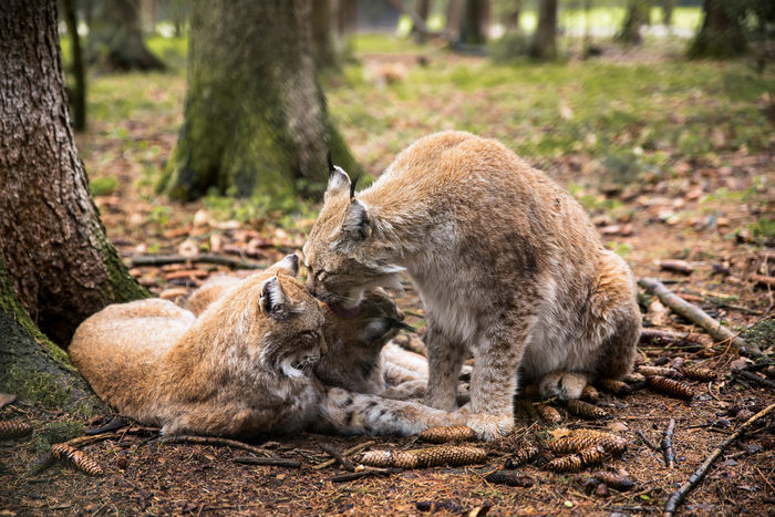 A Lynx family on a rainy day. Animal Love Animal Themes Animal Wildlife Animals In The Wild Cat Cats Close-up Day Forest Love Lying Down Lynx Lynxfamily Mammal Mother Motherlove Nature No People Outdoors Relaxation Togetherness Two Animals Wildlife Wildlife & Nature Wildlife Photography EyeEmNewHere