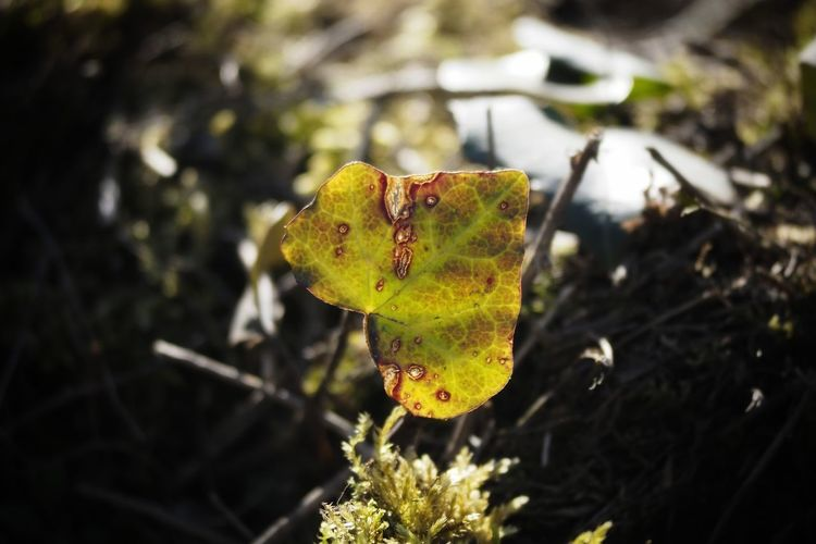 Ivy Ivy Leaves Nature Nature_collection Nature Photography Naturelovers Closeup Naturephotography Leaf Yellow Close-up Plant