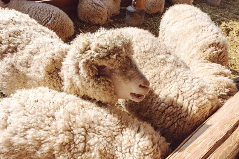Close-up of sheep in pen