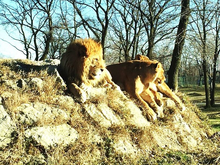 Dry Land Wild Beauty In Nature Hot Weather Lion Rocks Sun Sultriness Savannah