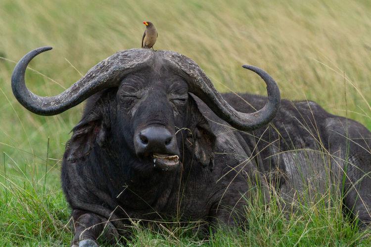 Portrait of buffalo with bird on its head