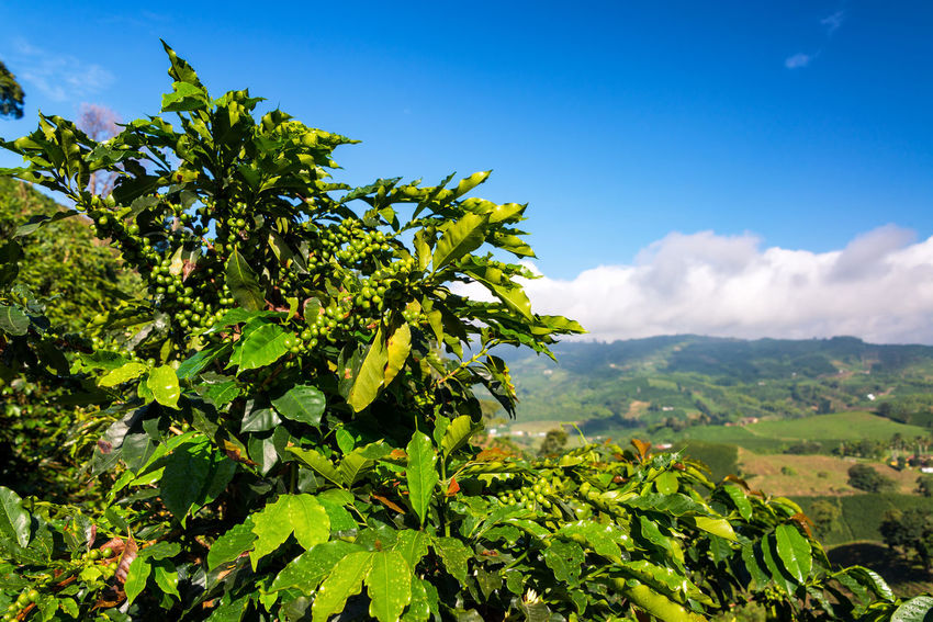 Closeup view of a coffee plant with lush green hills behind it near Manizales, Colombia Agriculture Berries Coffee Colombia Field Latin Manizales Natural Plant Plants Seed Tree Bean Caldas Chinchina Colombian  Drink Farming Forest Fresh Grain Landscape Leaf Mountain South America